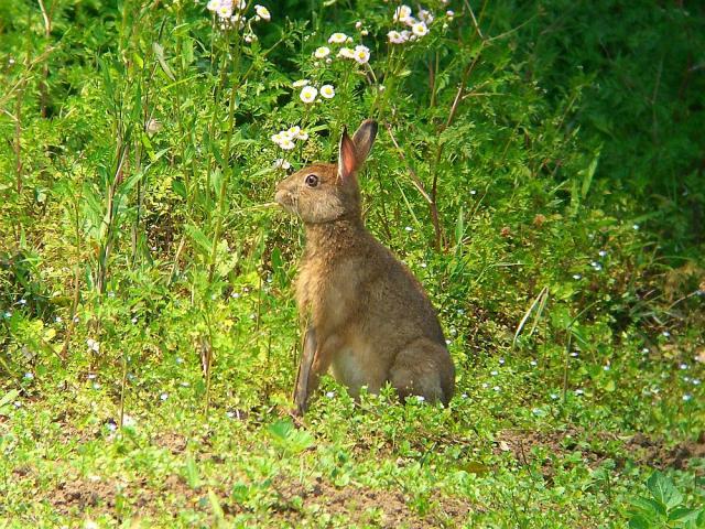 野ウサギ:クリックして大きな画像でご覧下さい